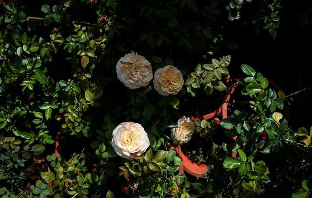 Chia sẻ các giống hoa hồng ngoại đẹp nhất hiện nay